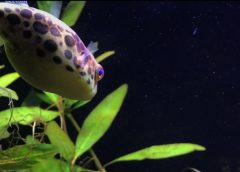 Housing Requirements for the Spotted Congo Puffer